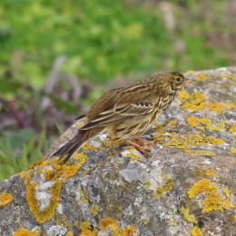 181117 meadow pipit (2)