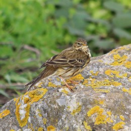 181117 meadow pipit (4)