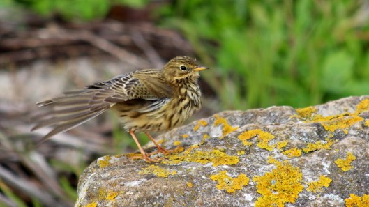 181117 meadow pipit (5)
