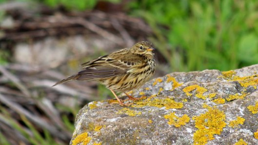 181117 meadow pipit (6)