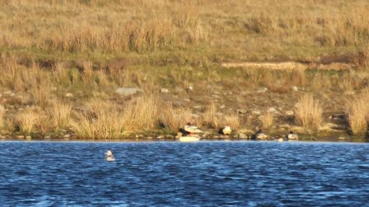 181119 birding at garwnant and rhaslas (10)