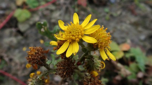 181125 common ragwort