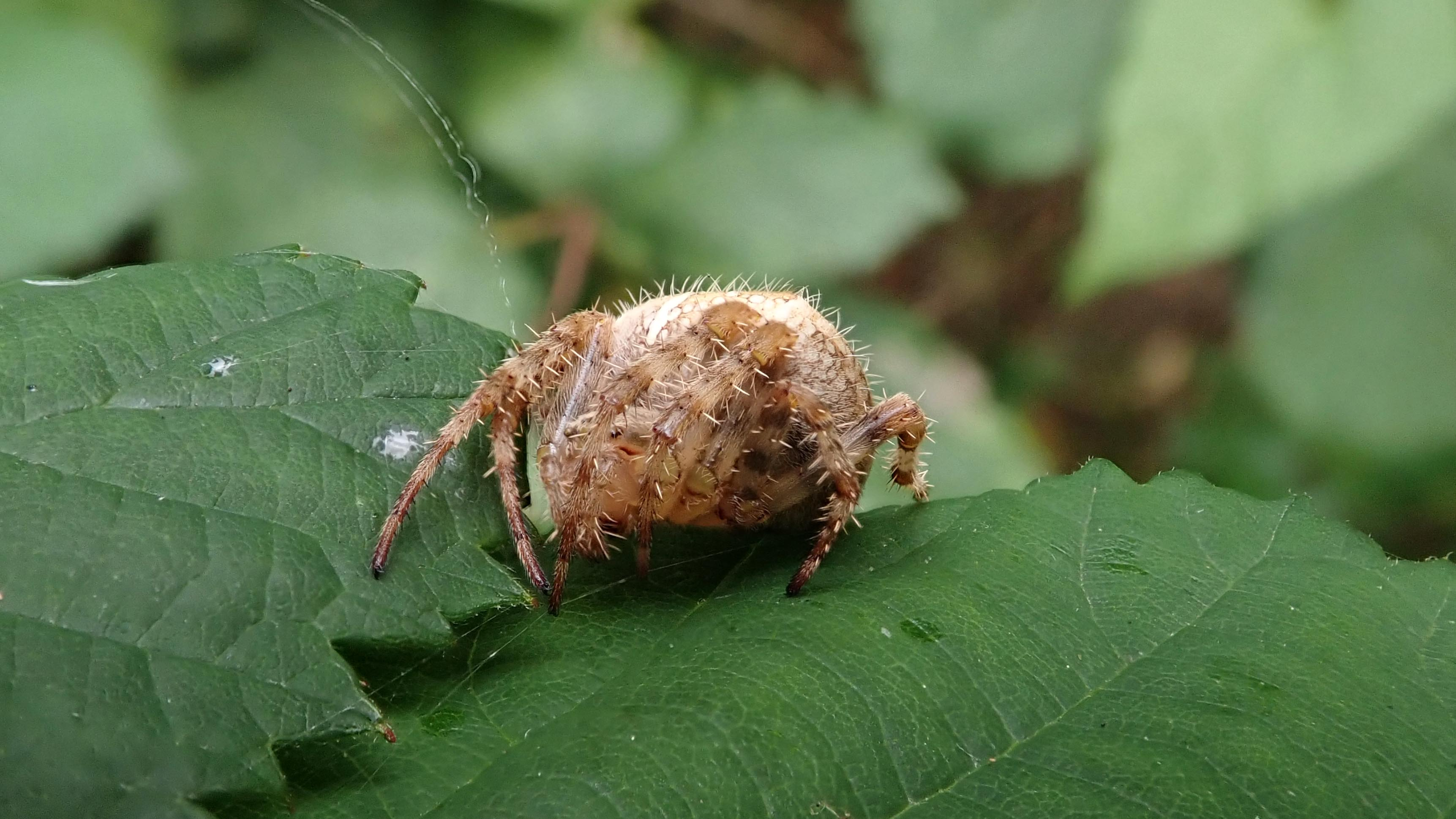 181129 garden spider (1)