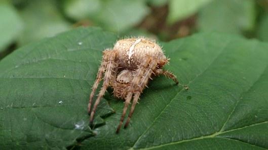 181129 garden spider (2)