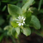 181202 common chickweed