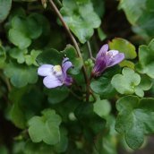 181202 ivy-leaved toadflax