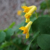 181202 yellow corydalis