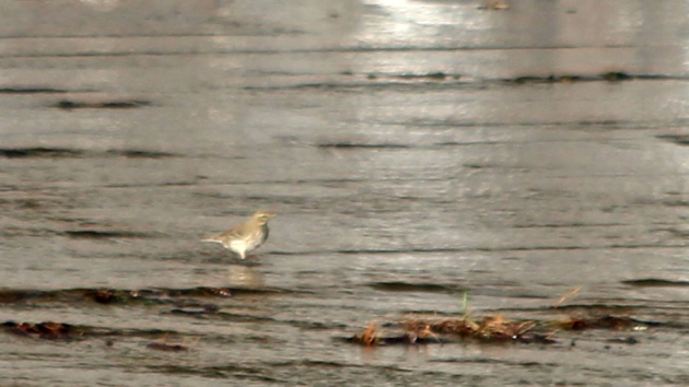 207 water pipit