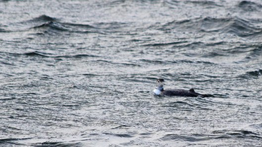 181203 great northern diver (5)