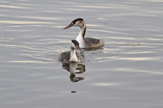 181204 great crested grebes (1)