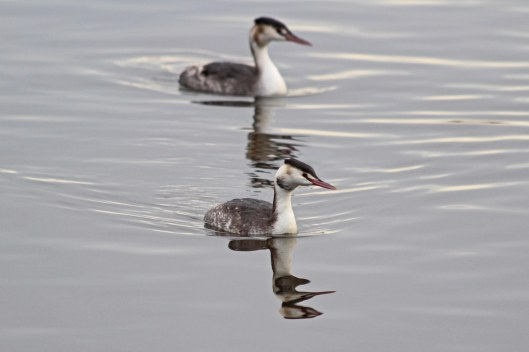 181204 great crested grebes (3)