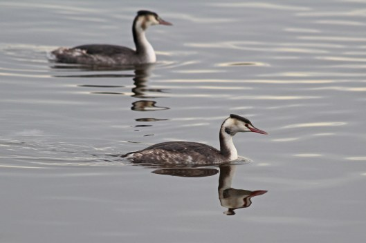 181204 great crested grebes (4)