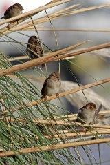 181208 marina sparrows (2)