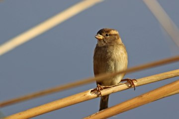 181208 marina sparrows (3a)