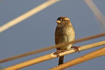 181208 marina sparrows (3a)
