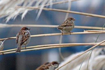 181208 marina sparrows (4)