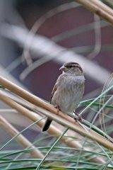 181208 marina sparrows (5)