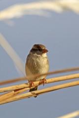 181208 marina sparrows (6)