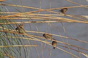 181208 marina sparrows (7)