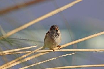 181208 marina sparrows (8)