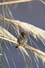 181208 marina sparrows (9)