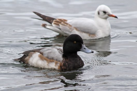 181219 scaup (5)