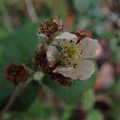Bramble species