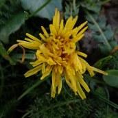 Dandelion species