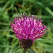 Common knpaweed