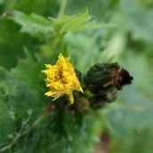 Sow thistle