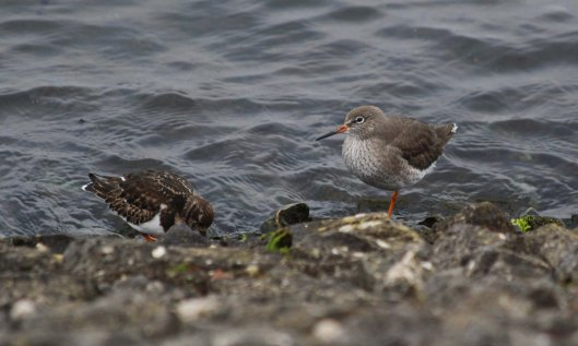 181228 turnstone and redshank (1)