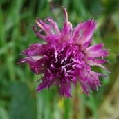 181230 common knapweed
