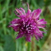 181230 common knapweed