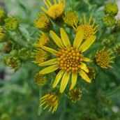 181230 common ragwort