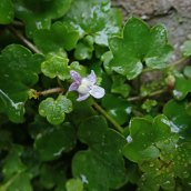181230 ivy-leaved crowfoot