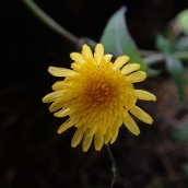 181230 sow thistle