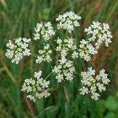 181230 unknown umbellifer