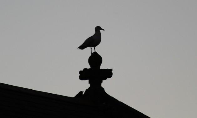 1 Lesser black-backed gull Starling