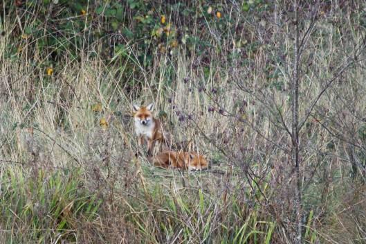 190101 urban foxes