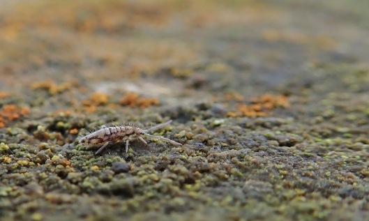 190106 entomobrya multifasciata