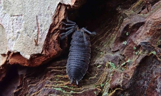 190107 woodlouse