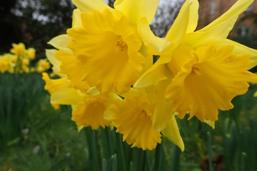 190112 daffodils