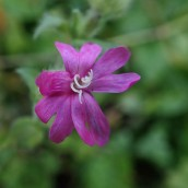 190113 1 red campion