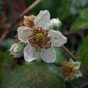 190113 bramble sp