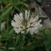 190113 clover