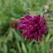 190113 common knapweed