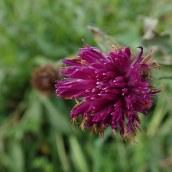 190113 common knapweed
