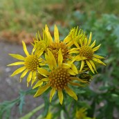 190113 common ragwort