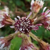 190113 winter heliotrope