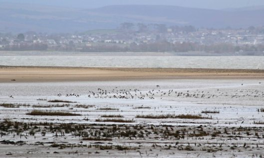190114 (5) shelduck and dunlin